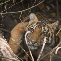 tiger-in-indien