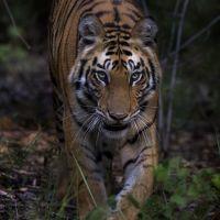 tiger-voraus