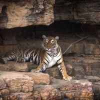 tiger-in-einer-höhle