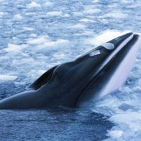 wal-in-spitzbergen-taucht-im-eis.jpg