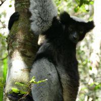 indri-indri-lemur