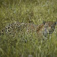 jaguar-im-pantanal