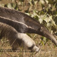 sm---tamanduá-bandeira---giant-anteater