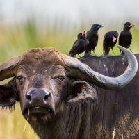 büffel-in-uganda