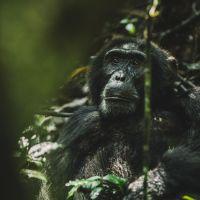 gorilla-schaut