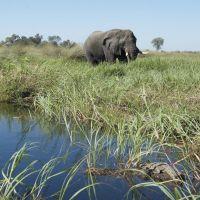 elefant-im-okavanga-delta