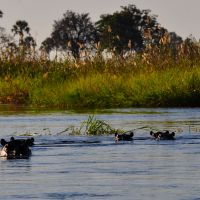 hippos-im-okavango-delta