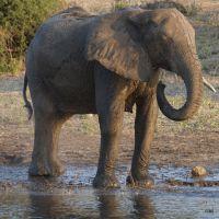 elefant-trinkt