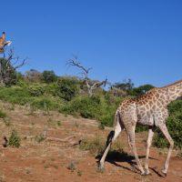 giraffen-im-chobe-nationalpark
