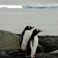 2-gentoo-pinguine