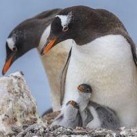 pinguin-eltern-mit-kleinen