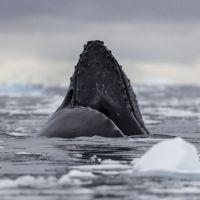 wal-in-der-antarktis