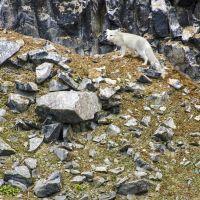 arktischer-fuchs