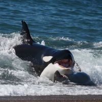 orca-jagt