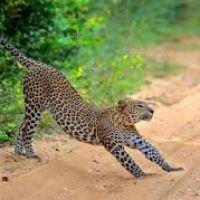 wilpattu-leopard