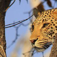 leopard-in-botswana