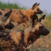 hyänen-halten-ausschau