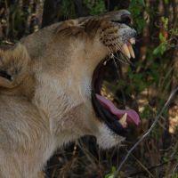 löwe-gähnt