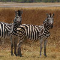 zebras-in-botswana