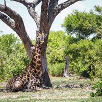 giraffe-liegt