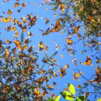 Monarchfalter landen auf Hand