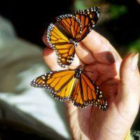 Monarchfalter in den Bäumen