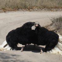strauss-oudtshoorn