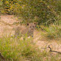 leopardenbaby