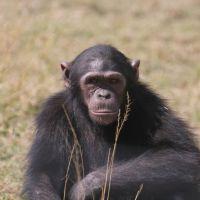 chimpanzee-4031352-1920