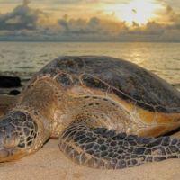turtle-kosi-bay