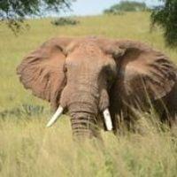 elephant-queen-elizabeth