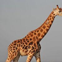 giraffe-bei-murchison-wasserfällen.jpg