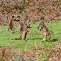kangaroo-island4.jpg