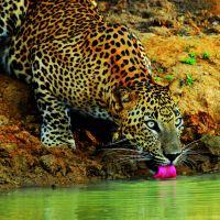 yala---national-park---leopard-01