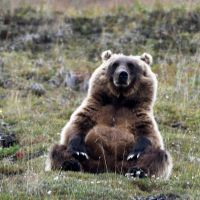 day-3--xl-day-7---sitting-brown-bear-denali-park.jpg