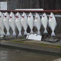 day-6---xl-day-11---halibut,-homer