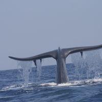 mirissa-whale-watching