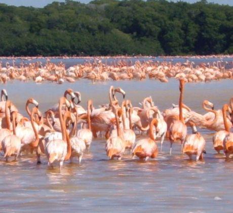 Flamingos auf Yucatan