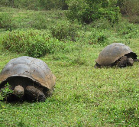 Schildkröten auf Galapgos