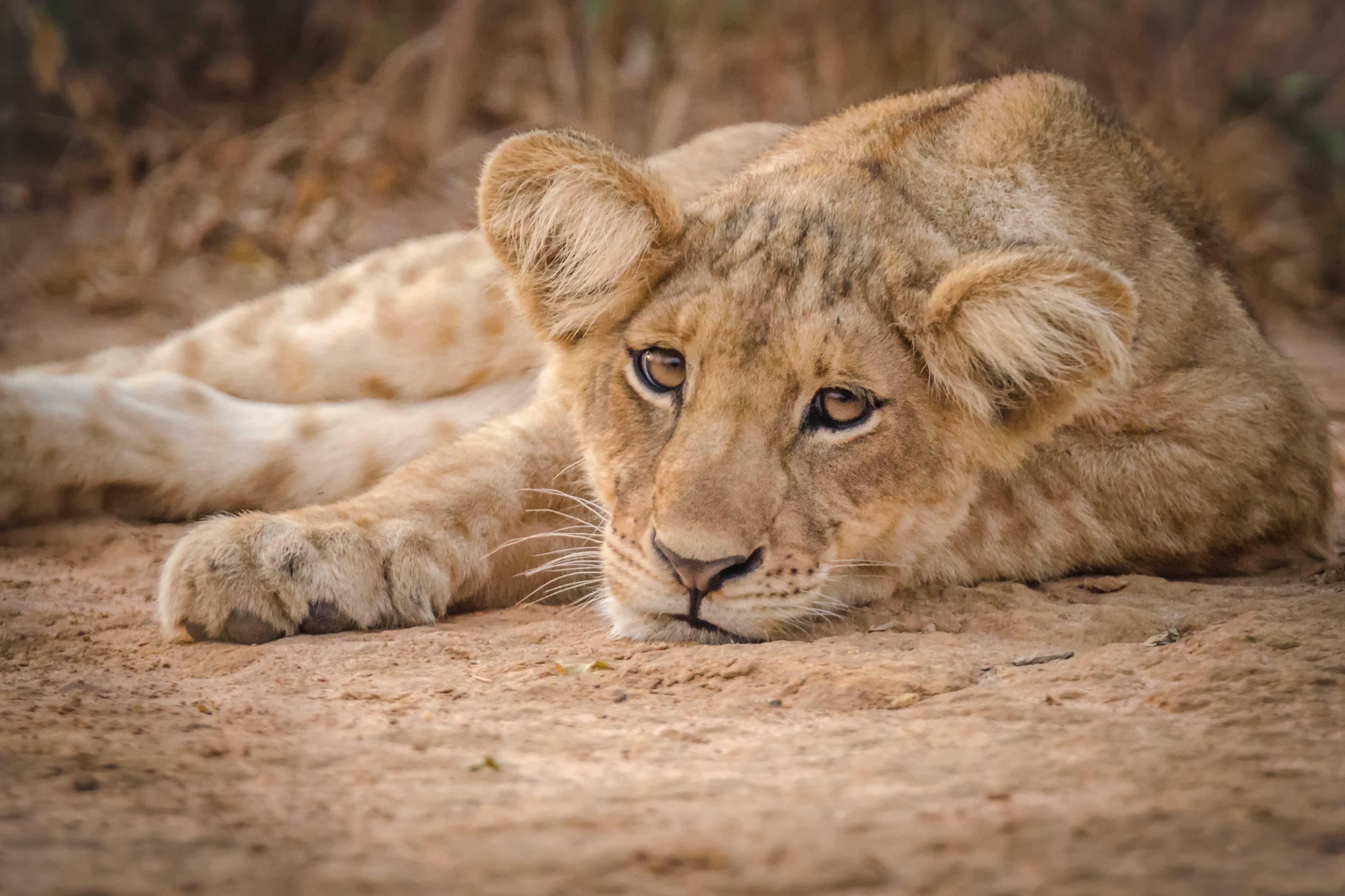 Kleiner Löwen Murchison Falls Nationalpark