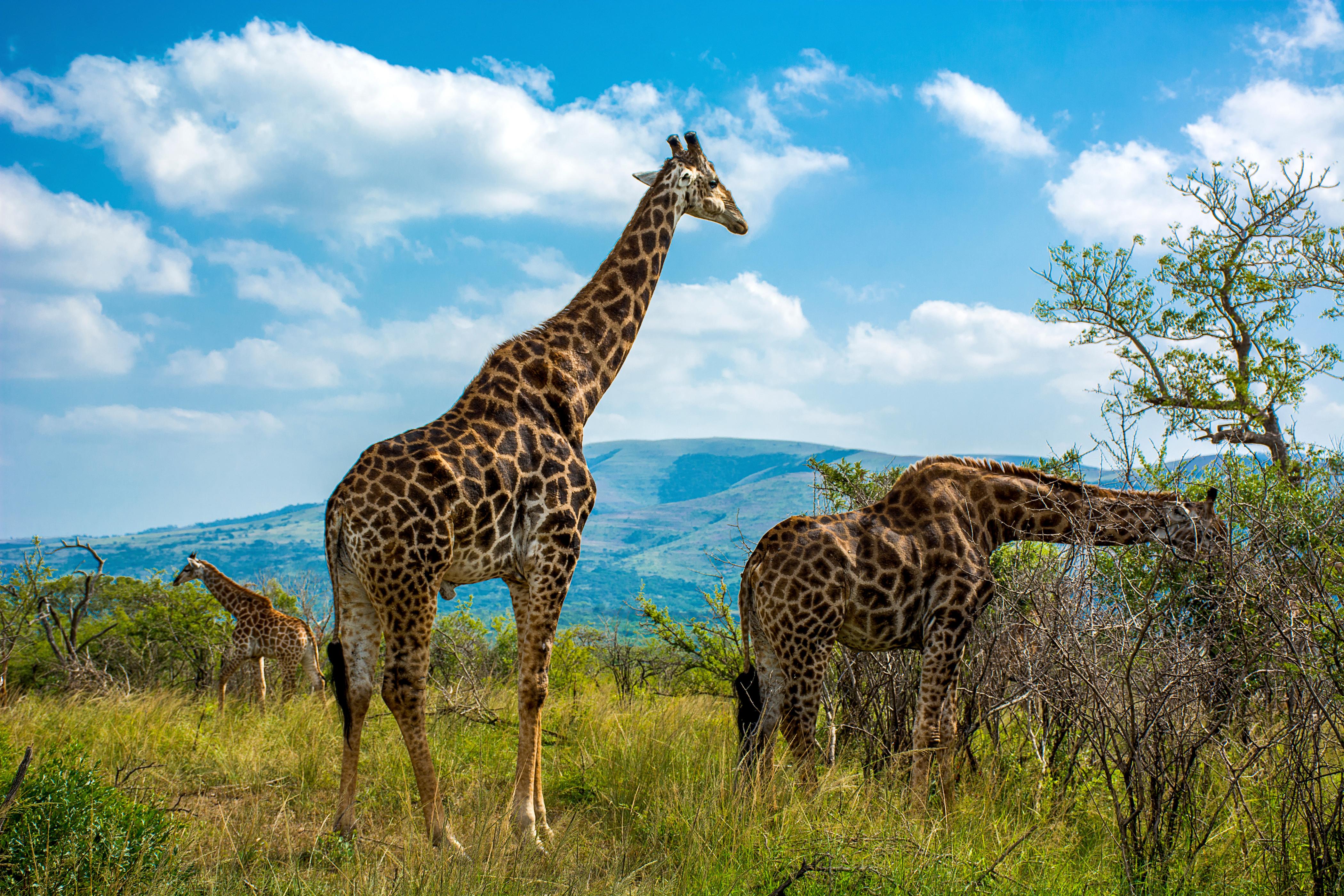 Hluhluwe Imfolzie Nationalpark Giraffen