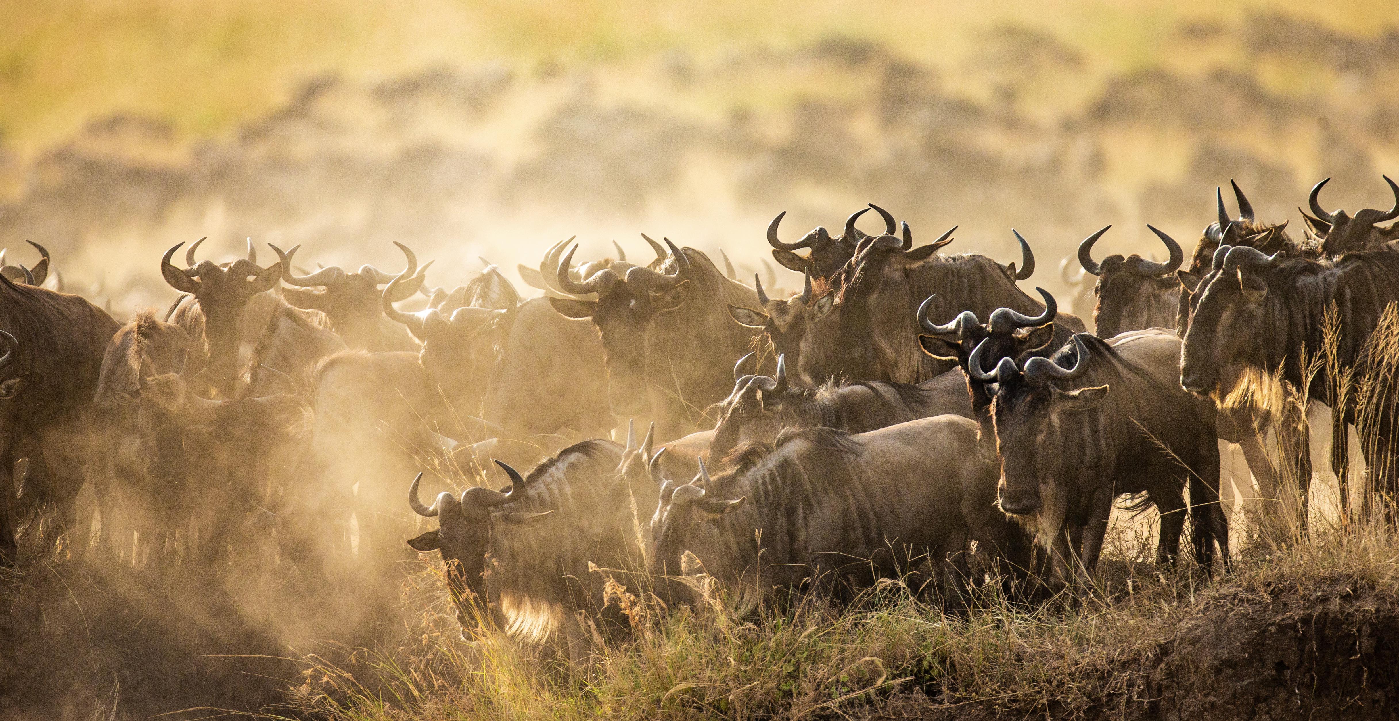 Big Mirgation Gnus in Kenia