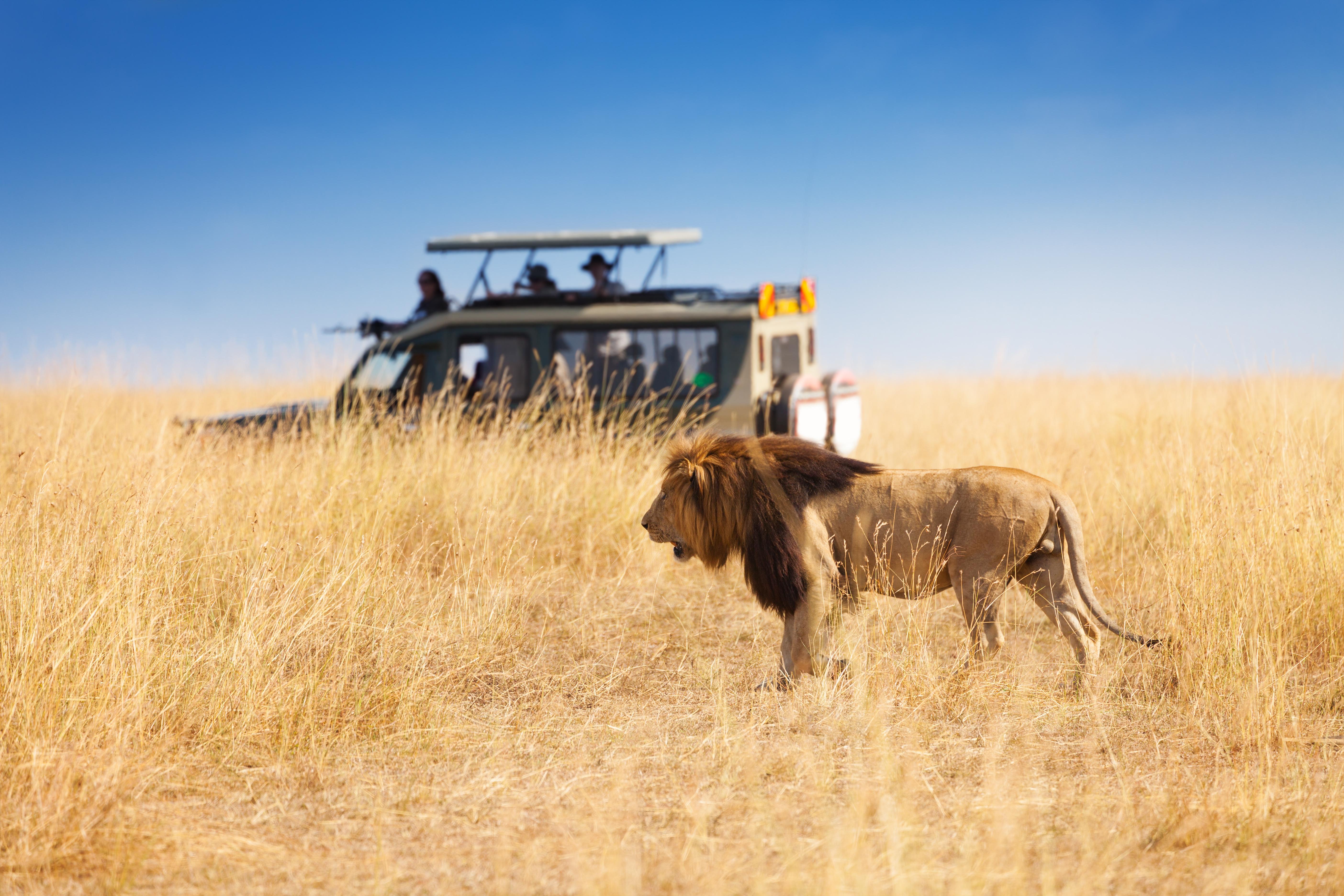 Löwe auf Safari