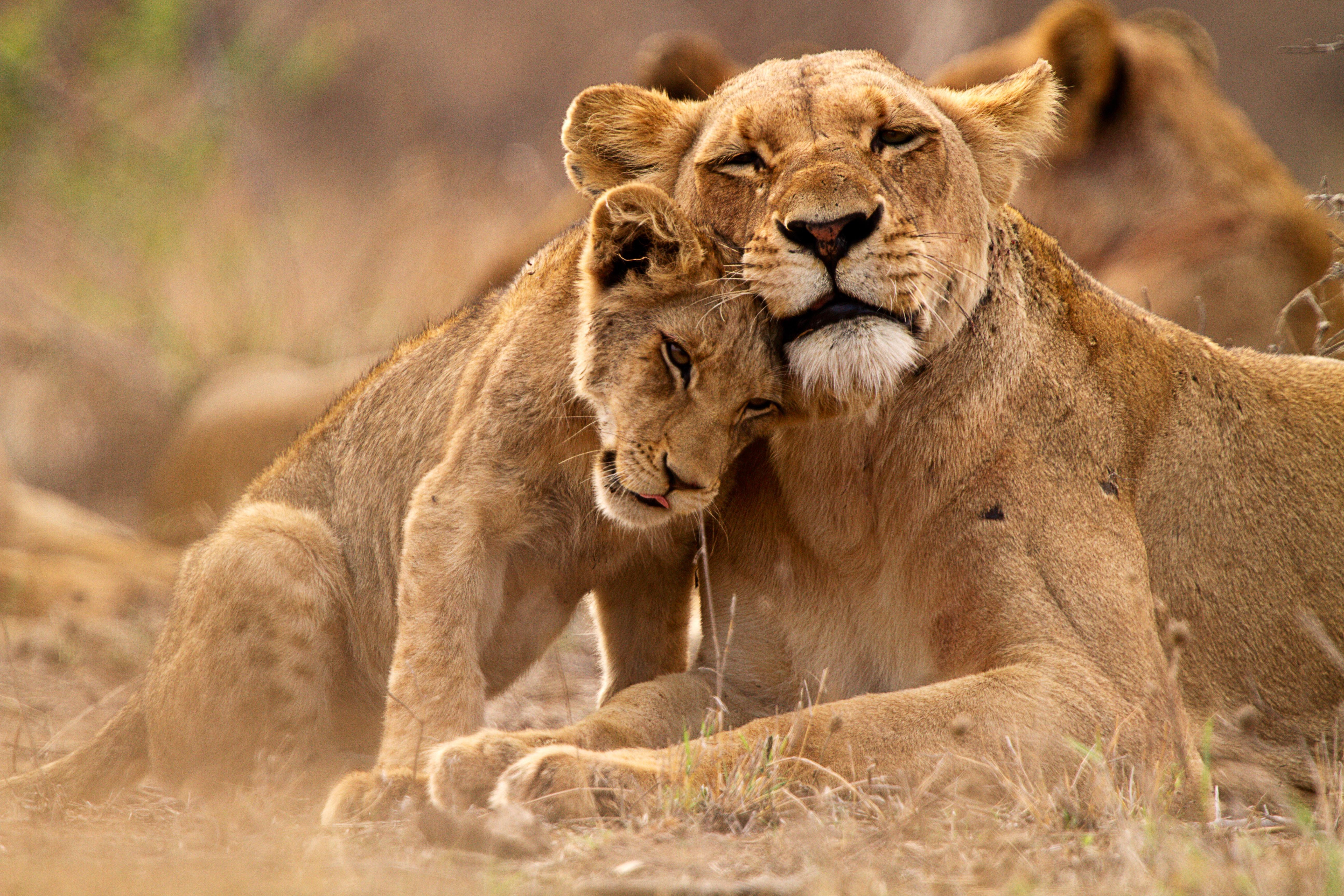 Kleiner Löwe im Krüger Nationalpark