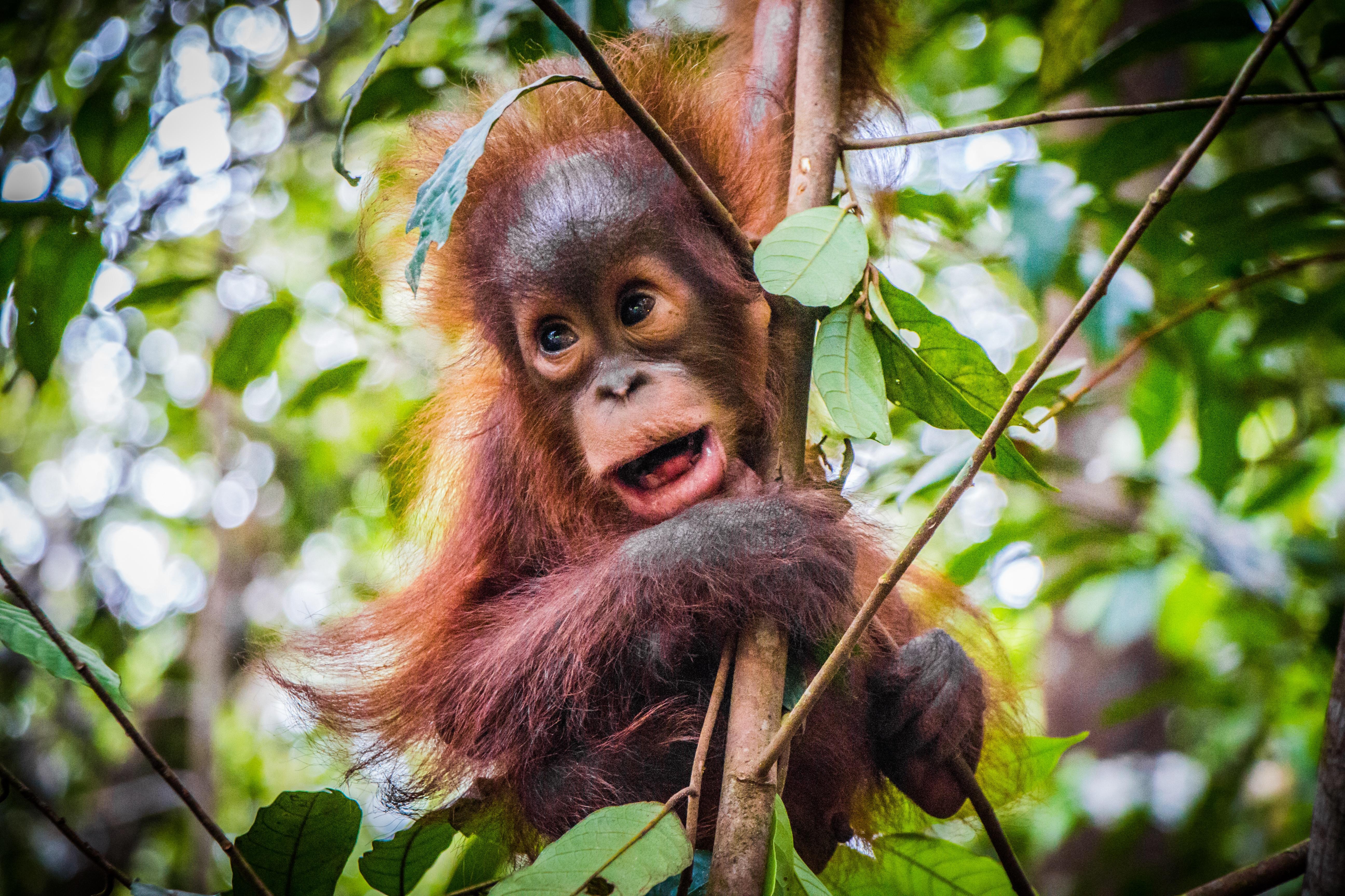 Baby Orang Utan auf Borneo