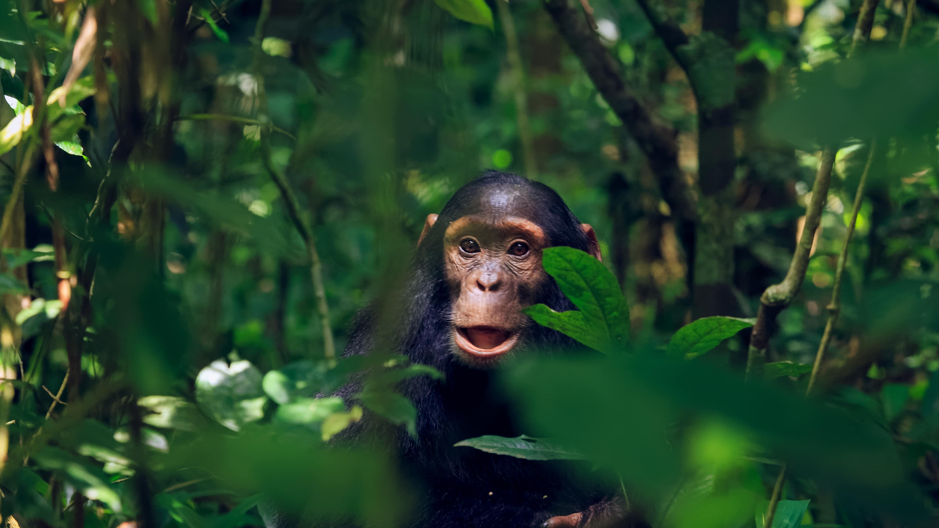 Schimpansen Kind im Kibale Nationalpark