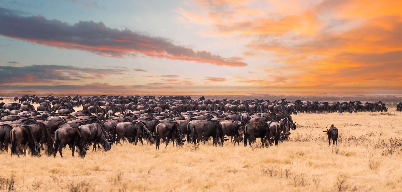 Gnu Wanderung in der Serengeti
