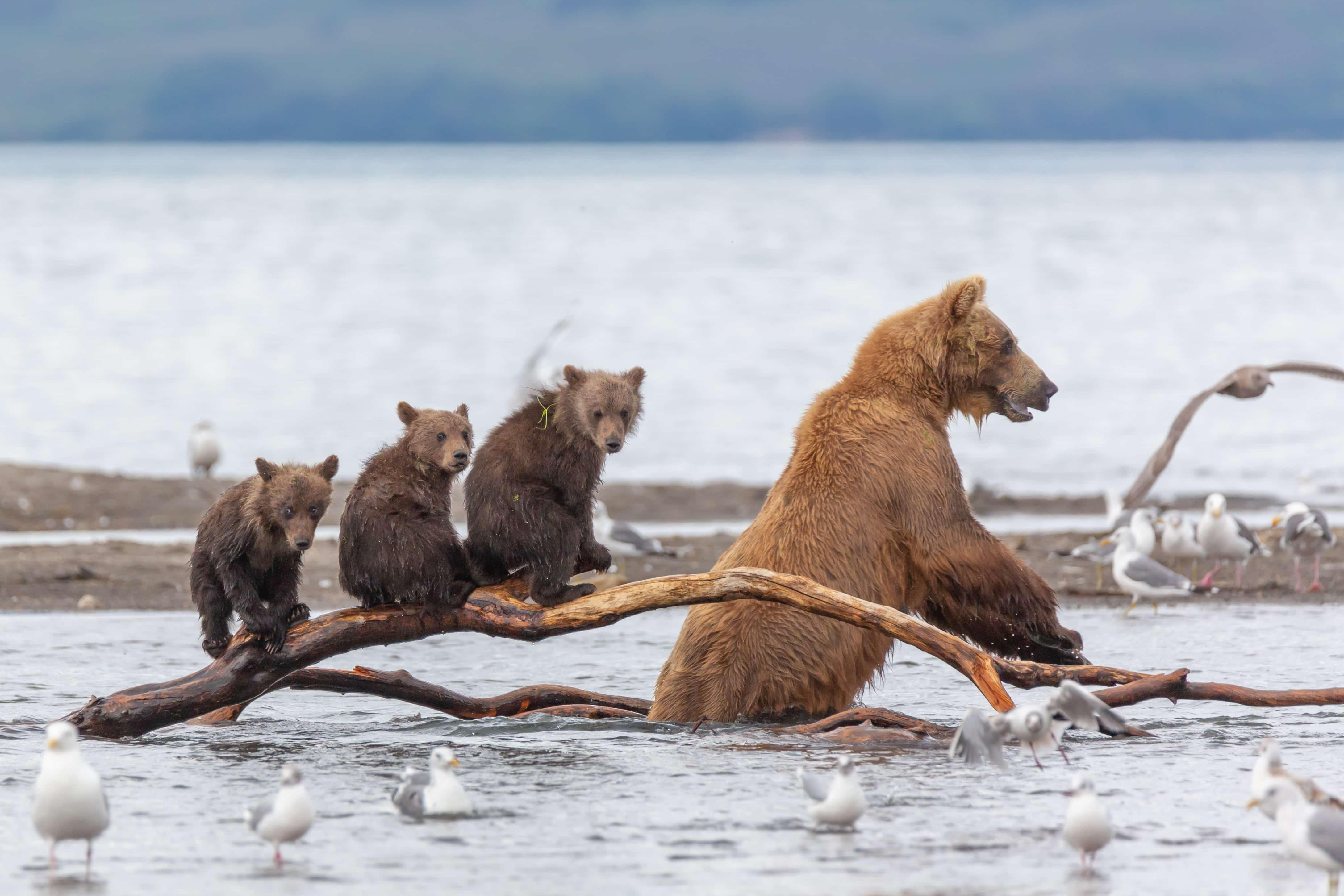 Braunbär Familie in Kamtschatka