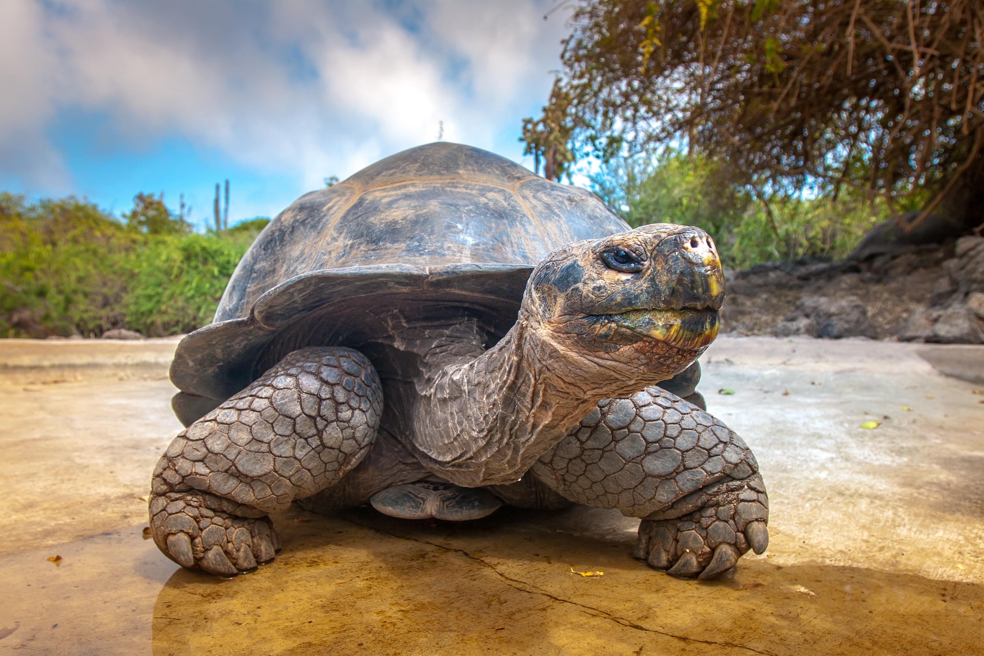 Riesenschildkröte auf den Galapagos