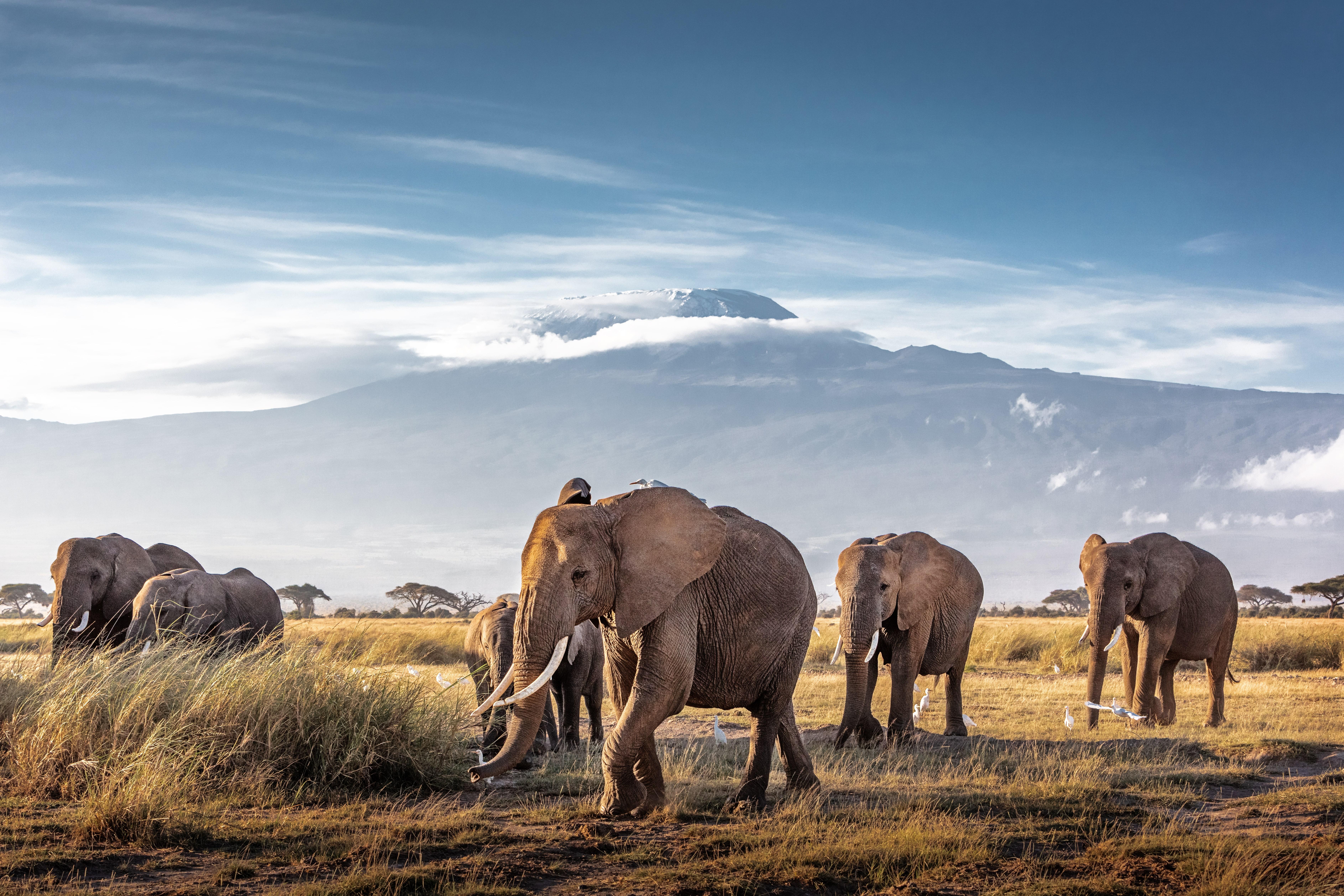 Kilimandscharo mit Elefanten